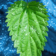 Mint leaf — Stock Photo #5098095