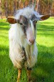 Cabra engraçada — Fotografia Stock