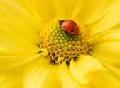 Small ladybug sleeping on yellow flower's petals — Stock Photo