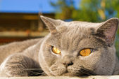 Lazy british cat lying outdoors — Stock Photo