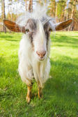Funny goat on a meadow chewing fresh geen grass — Stock Photo