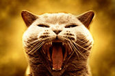Agressive cat — Stock Photo