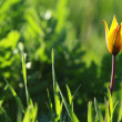 Stock Photo: Yellow tulip in green grass