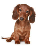 Long haired Dachshund dog — Stock Photo