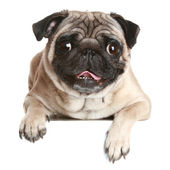Pug dog on white banner — Stock Photo