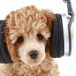 Poodle puppy in headphones — Stock Photo