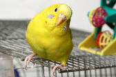 Yellow budgie — Stock Photo