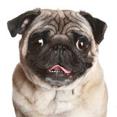 Pug portrait on a white background — Stock Photo