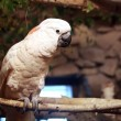 Stock Photo: Australiwhite cockatoo