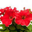Hothouse plant a petunia — Stock Photo