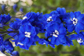 Blue flowers delphinium — Stock Photo