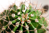 Cactus close up — Stock Photo