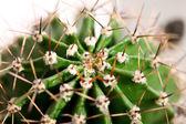 Cactus close up — Stock Photo