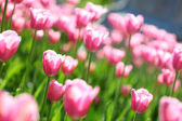 Gentle pink tulips on a flower field, — Stock Photo