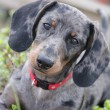 George the Dapple Daschund — Foto Stock