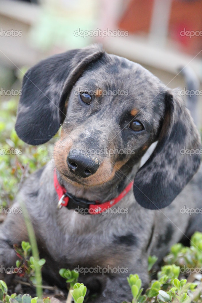 Dapple Daschund puppy wearing red collar and curious look. — Stock Photo #3627686