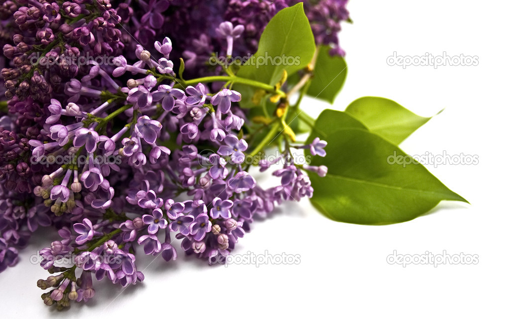 Fragrant sprig of lilac on a white background — Stock Photo #3055814