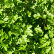Royalty-Free Stock Photo: Parsley background