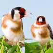 Goldfinch - Stock Photo