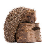 Hedgehog — Stockfoto