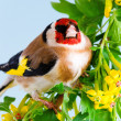 Stock Photo: Goldfinch