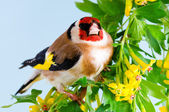 Goldfinch — Stock Photo
