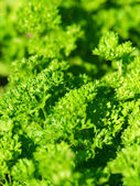 Parsley background — Stock Photo
