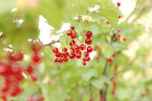 Currant. — Stock Photo