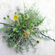 Stock Photo: Dandelion grows on cement