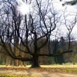 Massive Tree & Sunshine — Stockfoto