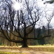 Foto Stock: Massive Tree & Sunshine