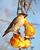 Hungry bird eating apples — Stock Photo