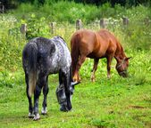 Two horses grazing on the meadow — Stock Photo