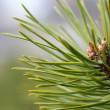 Stock Photo: Branch of Fir tree