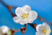 Flowering of an apricot — Stock Photo