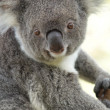 Royalty-Free Stock Photo: Koala