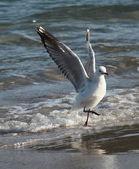 Silver gull — Stock Photo