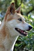 Dingo — Stock Photo