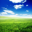 Spring morning... field of green grass and blue cloudy sky - Stock Photo