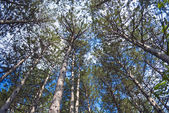 Upward view of trees against blue sky — Stock Photo