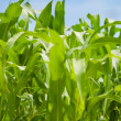 Green corn plantation . - Stock Photo
