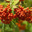 Branch of mountain ash with ripe fruits — Stock Photo