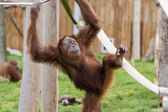 Cute baby orangutan — Stock Photo