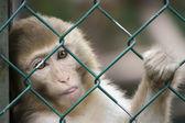 Monkey at the zoo — Stock Photo