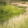 Shore with reeds — Stockfoto