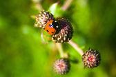 Little ladybug — Stock Photo