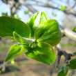 Young leaves on the apple-tree — Stock Photo