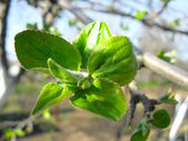 Young leaves on the apple-tree — Stockfoto