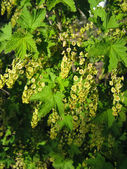 Spring flowering of currant — Stock Photo