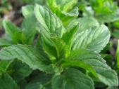 Growing mint — Stock Photo